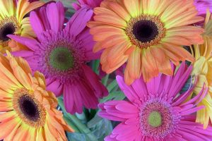 A Gift from Abroad: All About African Daisy or Cape Marigold