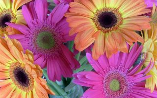 A Gift from Abroad: All About African Daisy