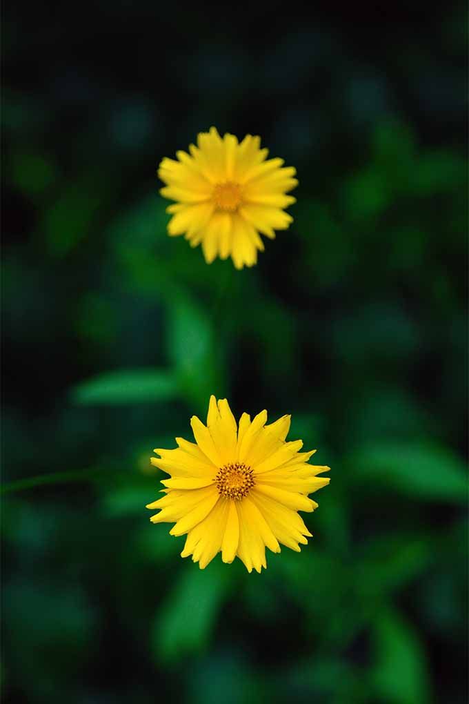 Check out tips and advice for growing native American wildflower coreopsis, or tickweed, in your own garden: https://gardenerspath.com/plants/flowers/how-grow-coreopsis/