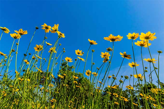 Grow the lovely American native wildflower tickseed, also known as coreopsis | GardenersPath.com