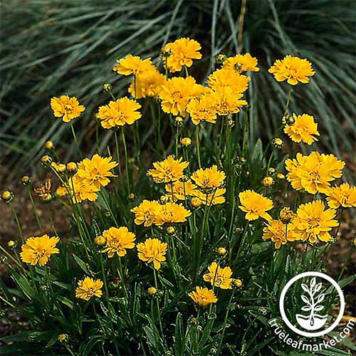 Grow coreopsis or tickseed in your own garden | GardenersPath.com