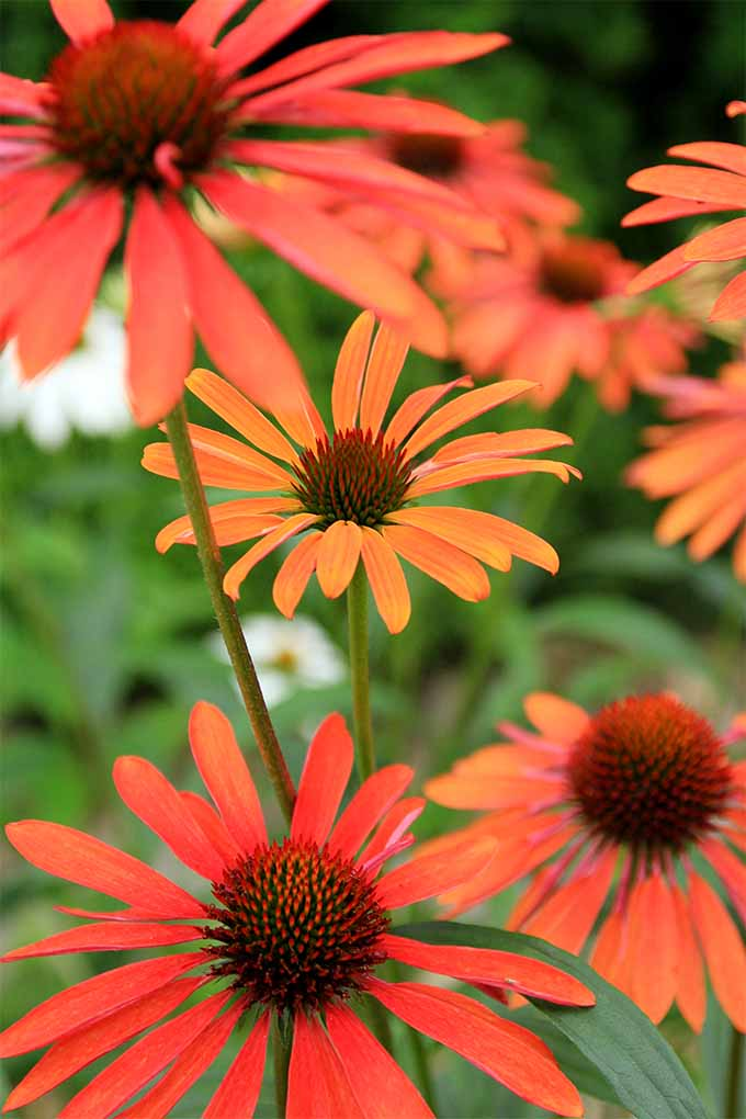 Red echinacea aka coneflowers. Close up.