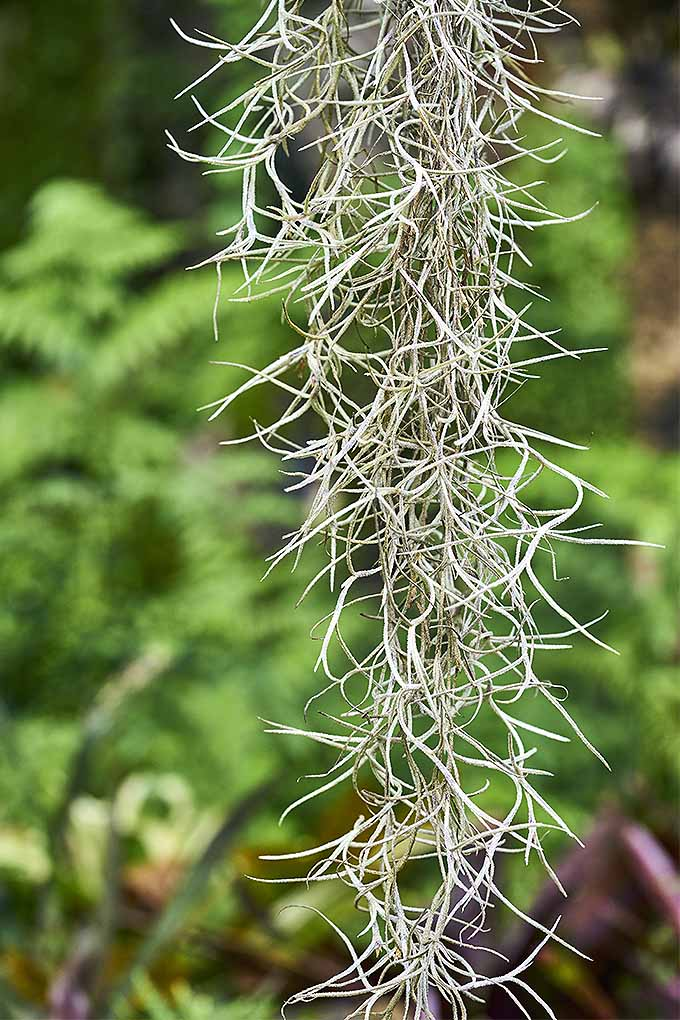 Love air plants? Learn how to grow your own at home: https://gardenerspath.com/how-to/indoor-gardening/tillandsia-air-plants/