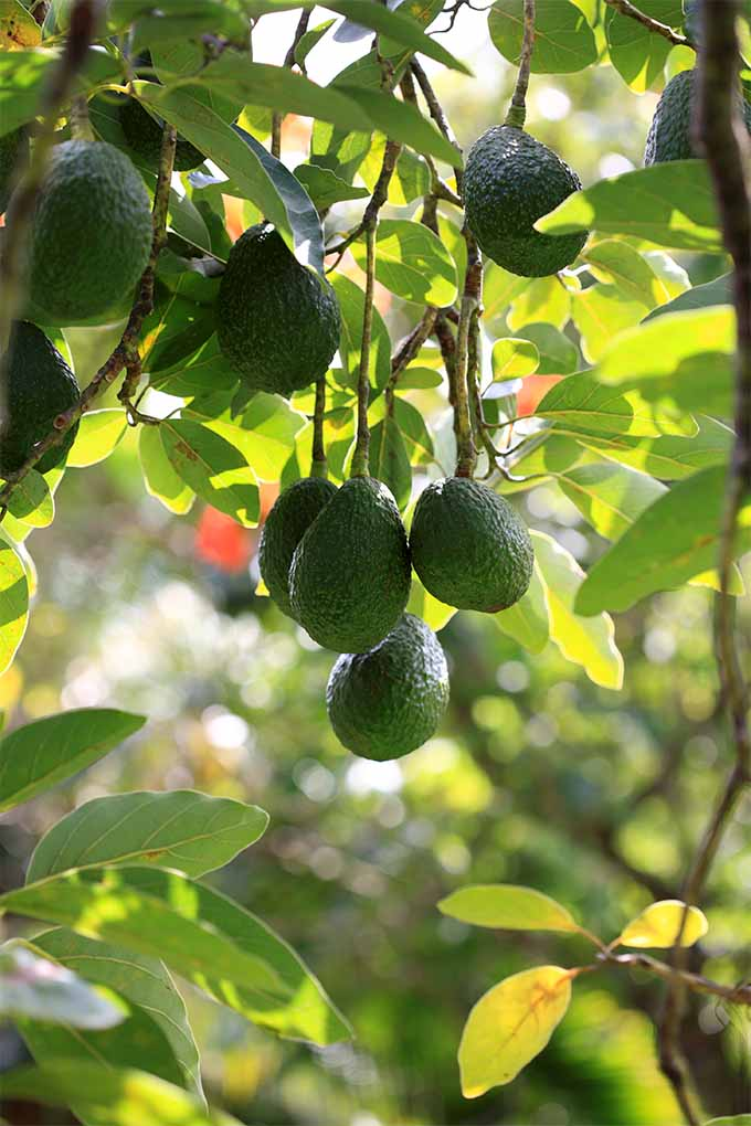Get tips and advice for growing alligator pears in your backyard: https://gardenerspath.com/plants/fruit/grow-avocados/