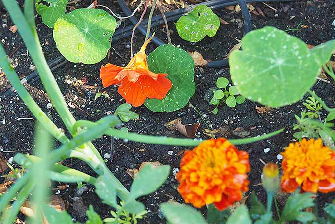Nasturtiums make a wonderful garden companion. | GardenersPath.com