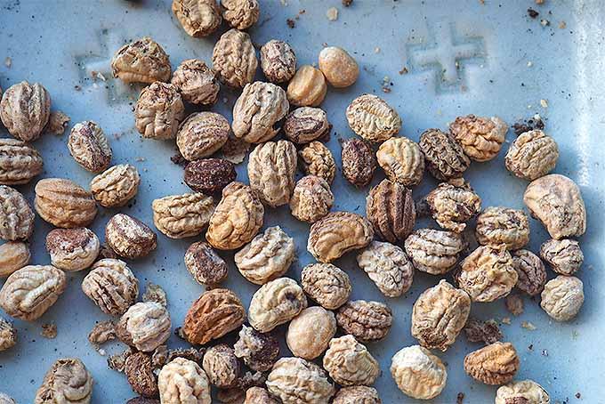 Dried nasturtium seeds. | GardenersPath.com