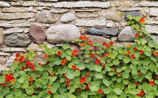 Nasturtiums: The Easiest Annuals to Grow!