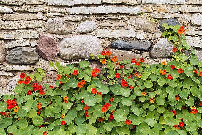 Whether you're looking for climbers or trailers in a variety of warm tones, nasturtiums are a winner in the garden. | GardenersPath.com