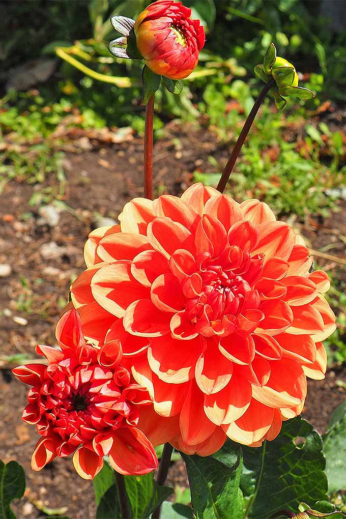 Learn more about how to grow beautiful blooms like this orange 'Firecracker' dahlia: https://gardenerspath.com/plants/flowers/delightful-dahlias/