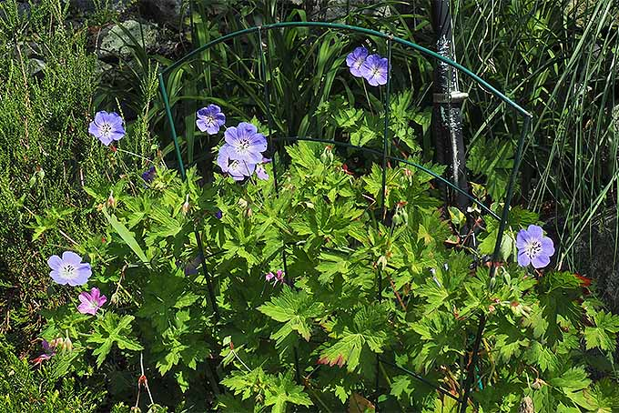 Planting cranesbills is a great way to attract pollinators to the garden. | GardenersPath.com