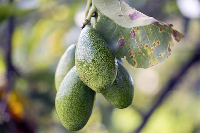 Grow avocados in the garden and enjoy many delights in the kitchen | GardenersPath.com
