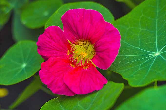 Learn to grow nasturtiums with these tips. | GardenersPath.com