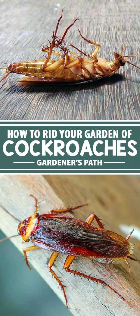 Are cockroaches — much to your horror — running amuck in your garden? Check out Gardener's Path for advice on discouraging and killing these vile creatures. We've got ideas for natural deterrents, as well as tips for bringing out the big guns, if you really have to.