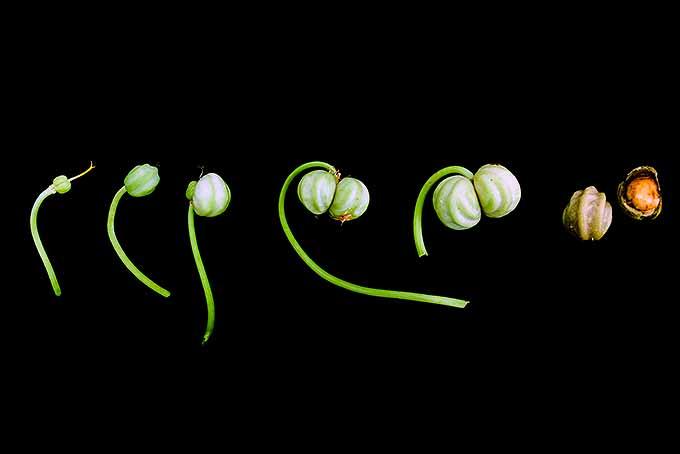 The stages of nasturtium seed development. | GardenersPath.com