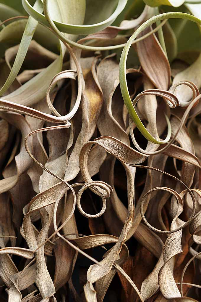 Leaves curling and brown? Learn how to care for your air plants with our tips: https://gardenerspath.com/how-to/indoor-gardening/tillandsia-air-plants/