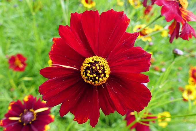 Try putting sun-loving coreopsis in your garden | GardenersPath.com