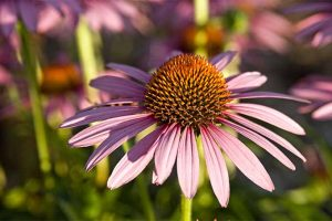 Grow Coneflower (Echinacea), A Native American Favorite