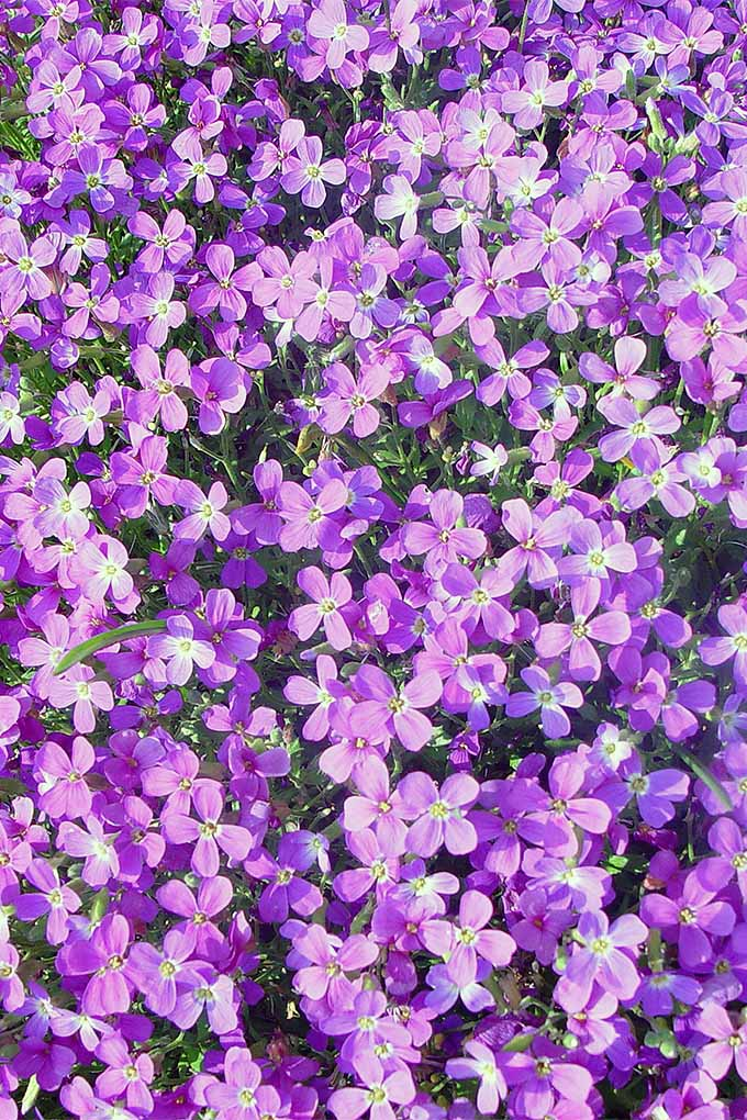 Grow beautiful purple Virginia stock flowers in your garden with our tips: https://gardenerspath.com/plants/flowers/virginia-stock/