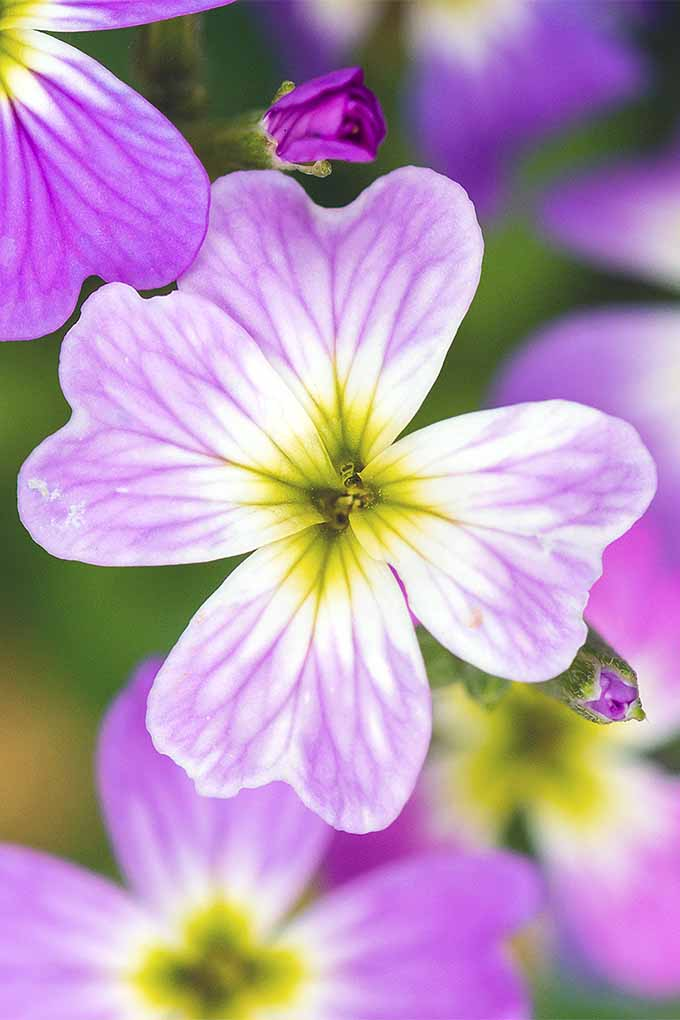 Do you know the difference between Virginia stock and phlox? Learn more: https://gardenerspath.com/plants/flowers/virginia-stock/