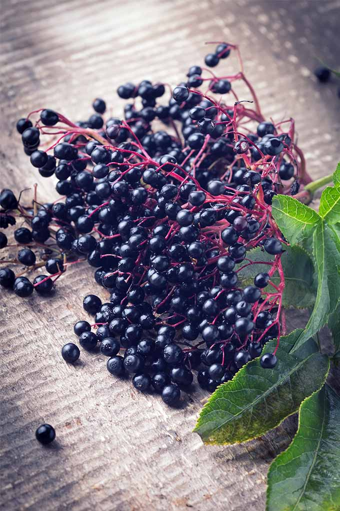 Check out our list of the best elderberry varieties to plant in your yard: https://gardenerspath.com/plants/fruit/best-elderberry-varieties/