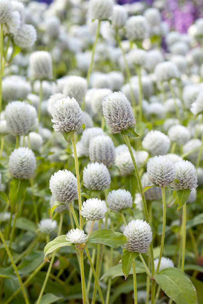 No, this isn't clover- it's white globe amaranth! And it's great for attracting pollinators, and adding to bouquets. Read more: https://gardenerspath.com/plants/flowers/globe-amaranth/