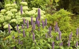 Anise Hyssop is a Honey of an Herb in Border Gardens