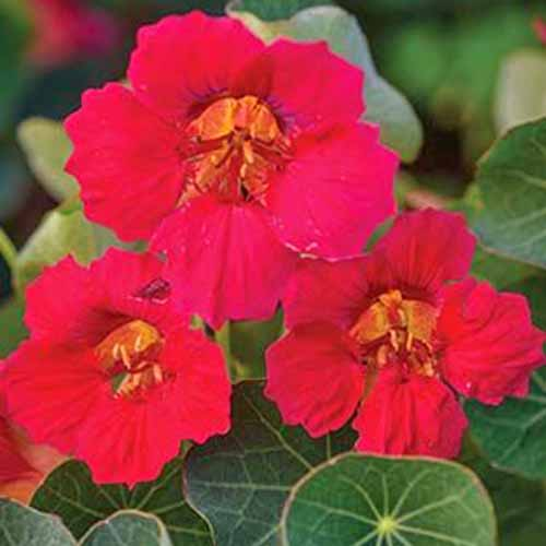 Red 'Baby Rose' nasturtium flowers with green leaves.