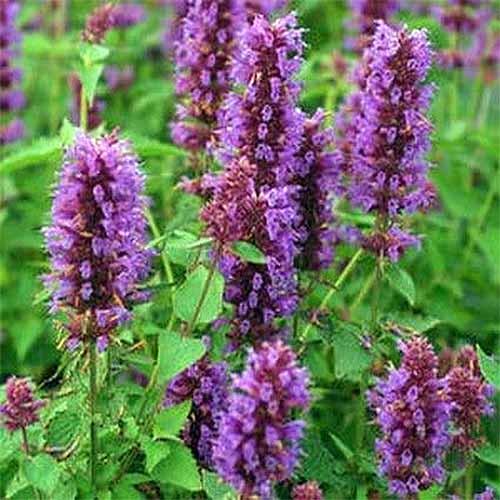 Anise hyssop 'Blue Boa' | GardenersPath.com