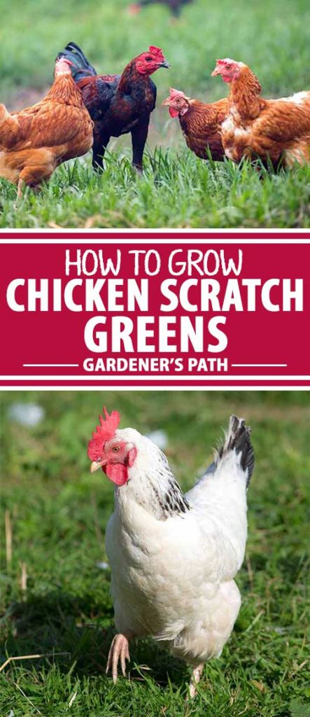 Did you know your flock of chickens will provide tastier and more nutritious eggs if you provide them with fodder or sprouts? Learn how delicious and healthful greens can also make your birds happier — read more now on Gardener's Path.