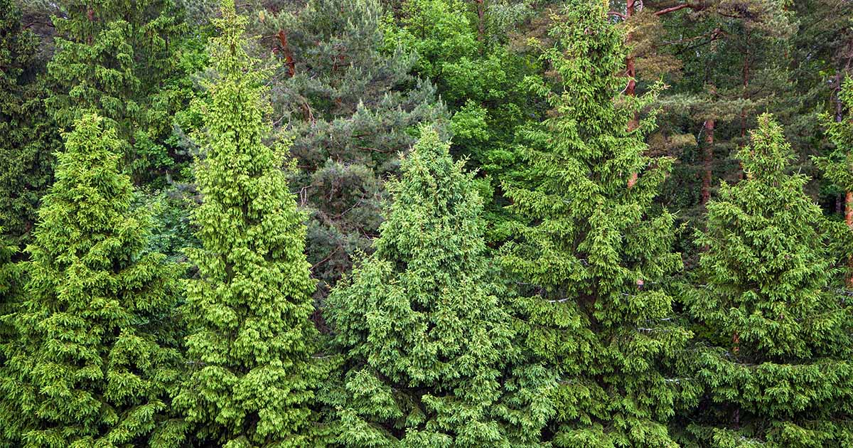 The Best Pine Fir and Spruce Identification Guide Gardeners Path