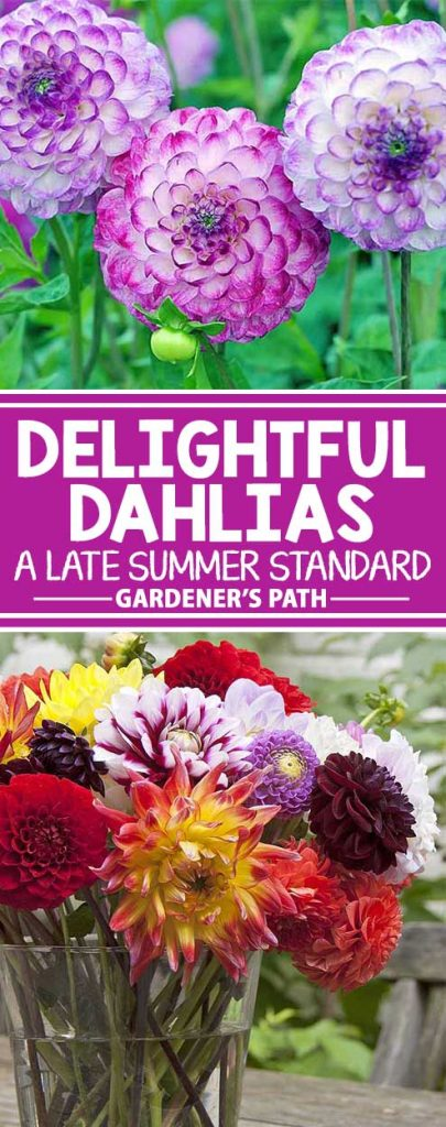 Are you looking for a reliable performer to add some juicy color to the late summer garden? Then join us for a closer look at the delightful dahlia. From patio to tree-sized, and in almost every imaginable color, these dazzling tubers bloom from mid-summer right until the first frost. Keep reading for all their care and growing info now on Gardener's Path.
