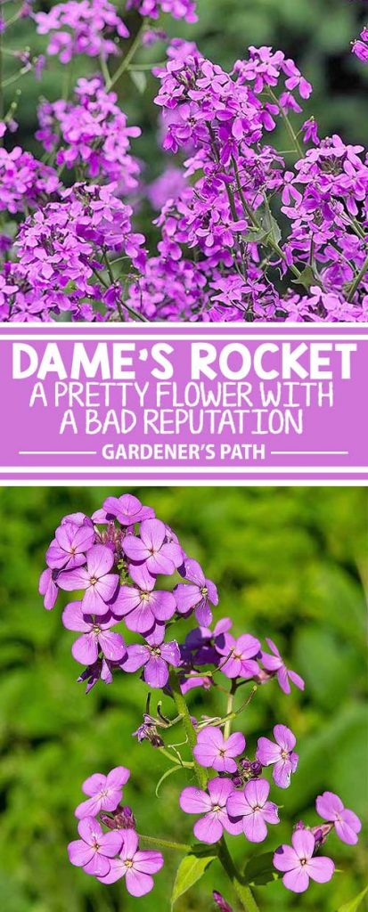 Dame's rocket has naturalized in almost every state. This pretty phlox-like flower that grows along highways and in meadows is considered invasive. However, its leaves and seeds have culinary and medicinal applications. Should you grow it in your yard? Decide with us, right here on Gardener's Path.