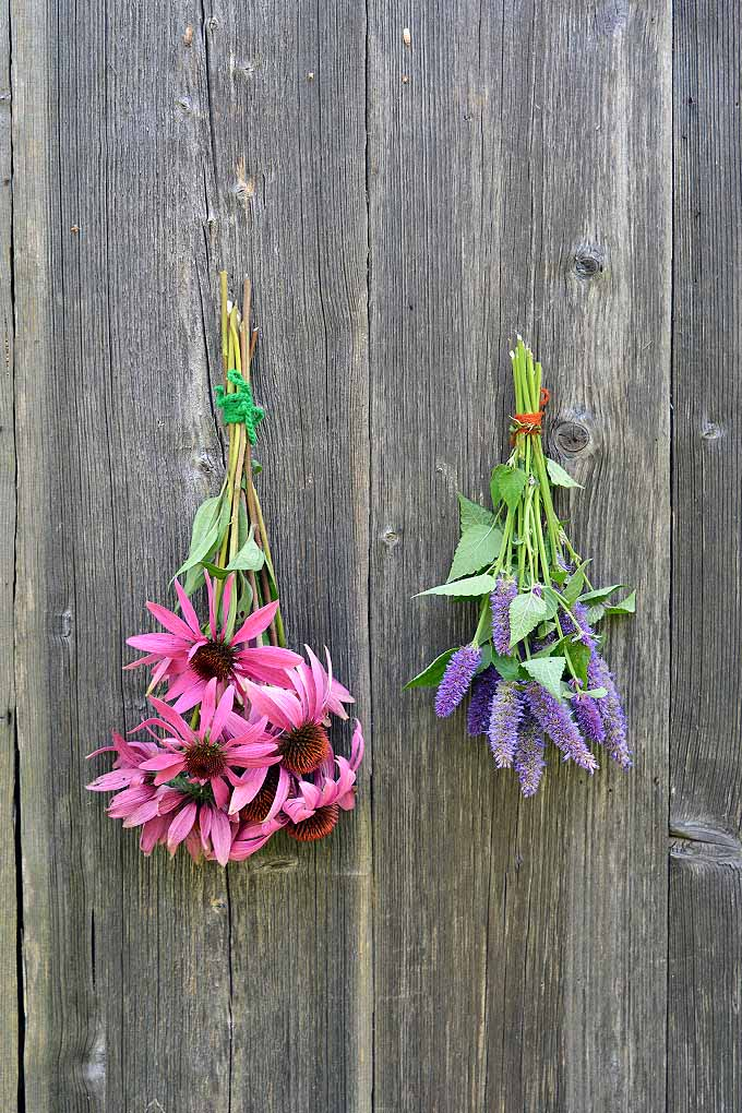 A vertical close up picture of a bunch of anise hyssop and coneflowers with their stems tied into a bunch, and hung upside down against a wooden fence to dry.