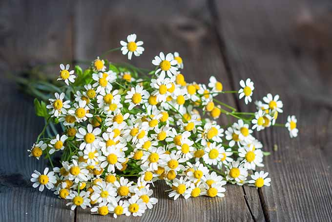Feverfew makes a lovely cut flower for arrangements | GardenersPath.com
