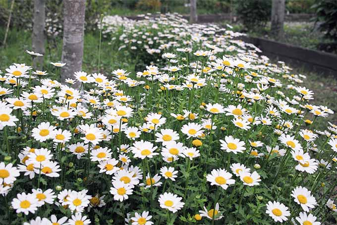 Feverfew is widespread in North America, where it grows in zones 5-10 | GardenersPath.com