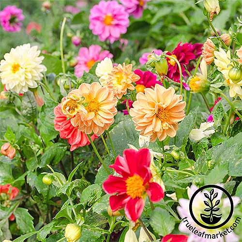 Figaro Dahlia | GardenersPath.com