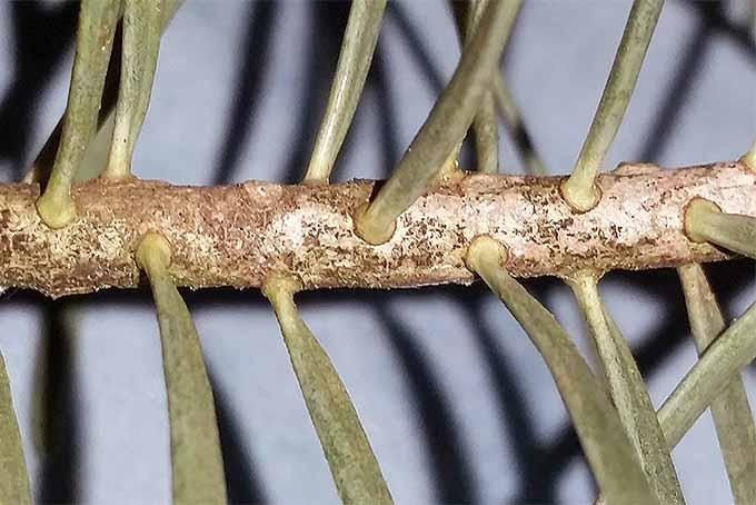 Fir needle shape close up. | GardenersPath.com
