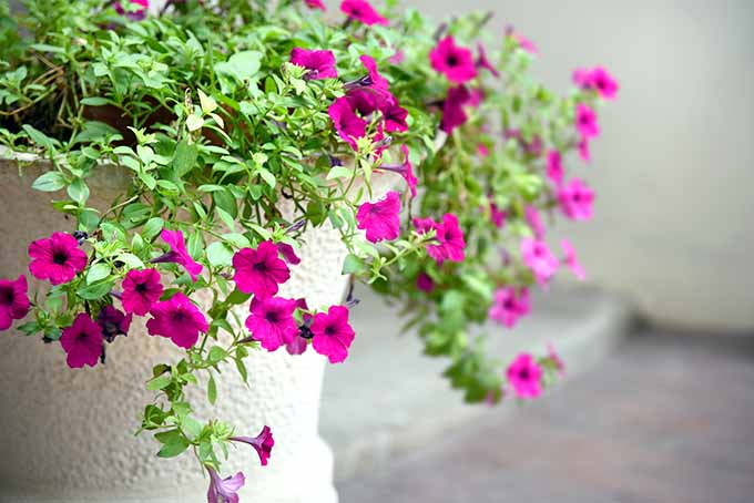 Four o'clock is an attractive addition to planters | GardenersPath.com