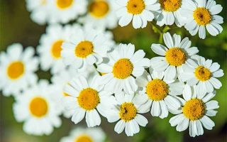 A Medicinal and Visual Delight: How to Grow Feverfew