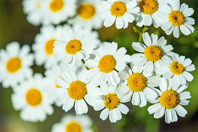 Feverfew offers medicinal and aesthetic benefits | GardenersPath.com