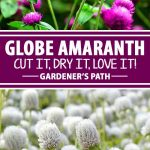 Looking for a good investment for your summer garden? Plant globe amaranth. Its clover-like flowers come in a range of attractive colors and bloom all summer long. And, they dry beautifully for floral arranging projects. Learn about this pretty and practical annual right here on Gardener's Path.
