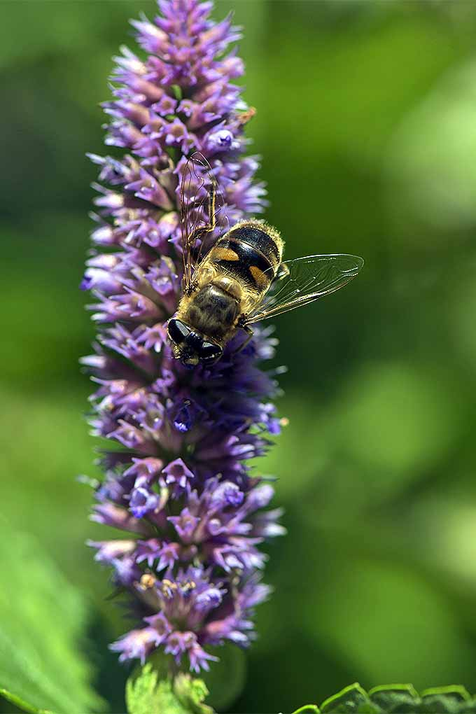 A vertical close up picture of a bee feeding on a purple anise hyssop flower in the bright sunshine, pictured on a green, soft focus background.