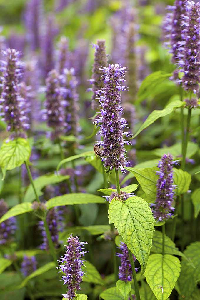 A vertical close up of the delicate, upright purple flowers of anise hyssop, growing in the garden, with light green foliage.