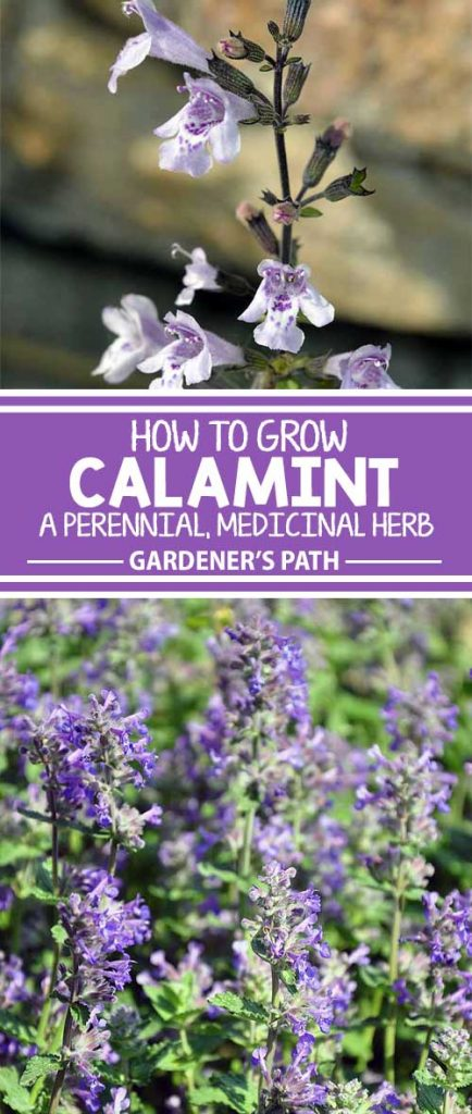 Though many Americans are not familiar with the perennial herb calamint, its fragrant leaves, attractive delicate flowers and profuse blooming habit make it a shrub worth adding to your landscape. Learn more now at Gardener's Path.