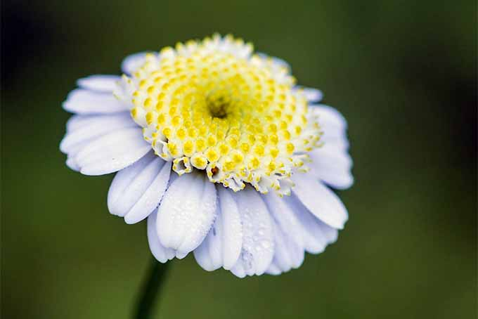If you add feverfew to your garden, remember that it repels bees | GardenersPath.com