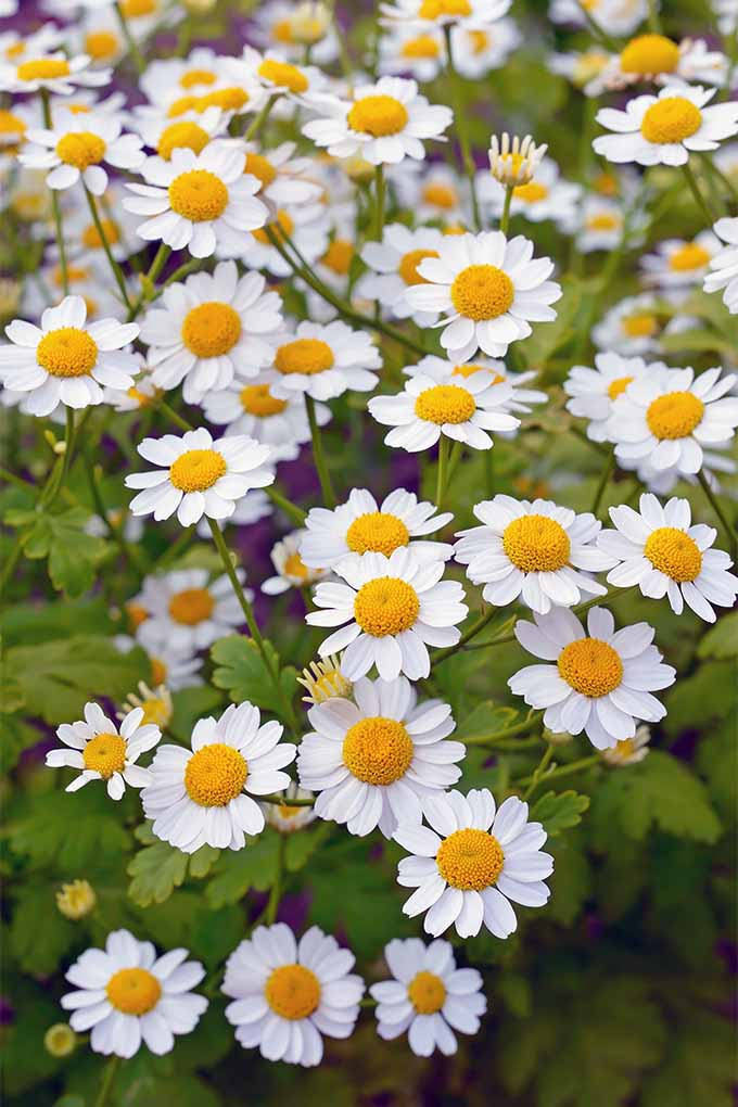 Get tips and tricks for growing feverfew, an attractive shrub with daisy-like flowers: https://gardenerspath.com/plants/ornamentals/how-to-grow-feverfew/