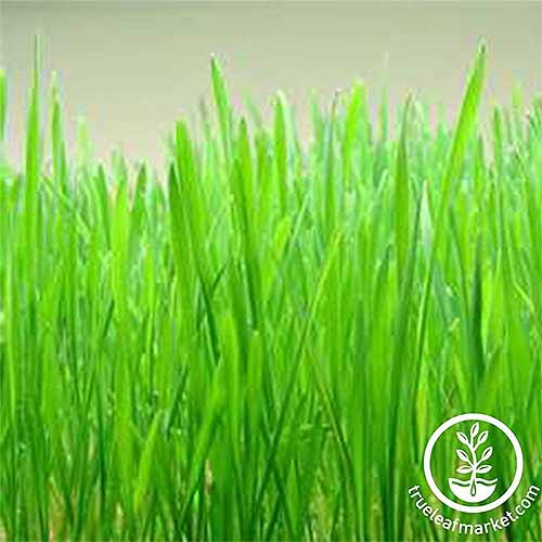 Grow winter wheat grass for chicken fodder | GardenersPath.com