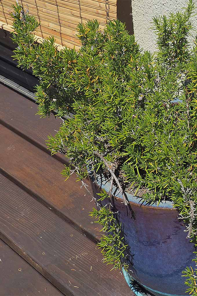 Growth of rosemary left in pots for too long can be stunted. Check out our tips: https://gardenerspath.com/plants/herbs/grow-rosemary/