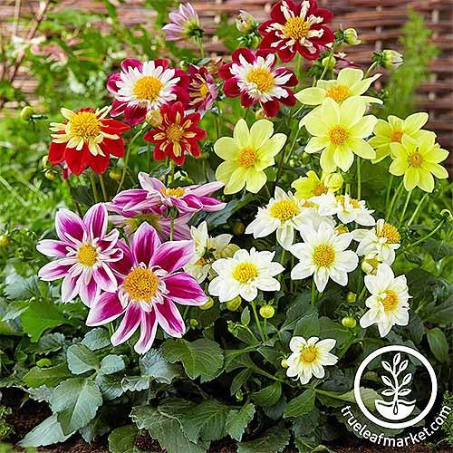 Harlequin Dahlia | GardenersPath.com