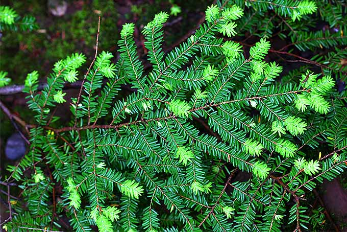 Hemlock with new growth at the ends of branches. | GardenersPath.com